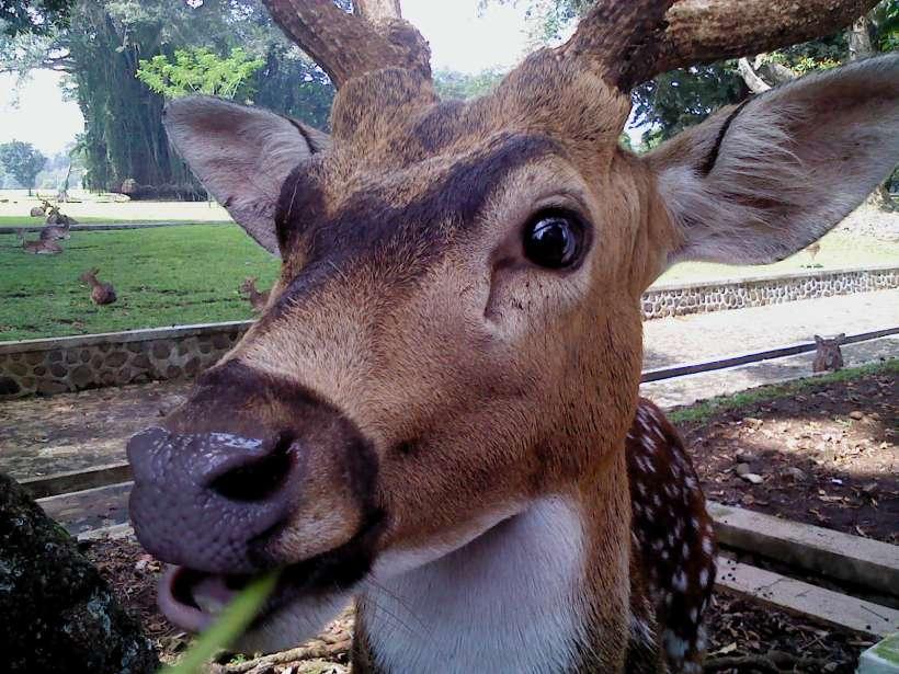 rusa makan kangkung. nyam-nyam-nyam.